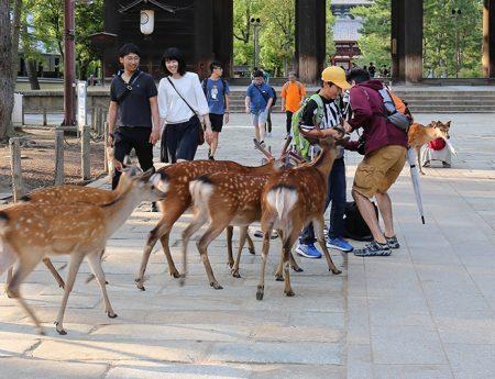 Japonia fara plan – Nara, orasul caprioarelor rasfatate